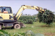 Tăng hiệu quả chuỗi sản xuất ngô sinh khối vụ Đông