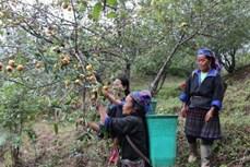 Huyện vùng cao Mù Cang Chải được mùa mất giá, tiêu thụ sơn tra gặp nhiều khó khăn