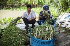 Hiệu quả kinh tế từ mô hình trồng rau nhút