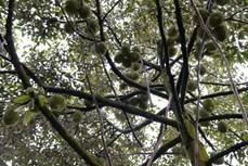Tạo dựng cơ nghiệp vững vàng từ cây đặc sản địa phương