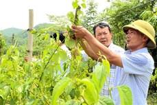 Trồng cây dược liệu - Hướng sản xuất mới của xã Hùng Mỹ