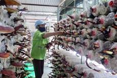 Nông trại trồng nấm Organic đầu tiên tại Thái Nguyên
