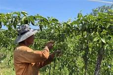 Quảng Trị phát triển vùng sản xuất chanh leo phục vụ xuất khẩu