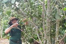 Huyện Kbang phát triển kinh tế từ trồng xen canh cây mắc ca