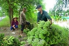 Cà Mau tăng giá trị cho sản phẩm chuối