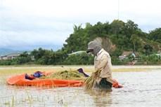 Người dân ở Đắk Lắk gấp rút thu hoạch lúa tránh lụt