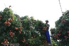 Thanh Hà vào vụ thu hoạch vải thiều chín sớm