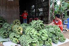 发展芭蕉种植业 力求取得较好经济效益