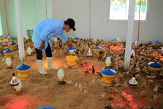 承天顺化省朝生物安全方向 发展家禽养殖业