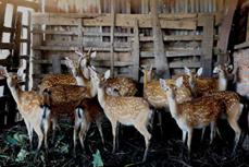 梅花鹿养殖技术