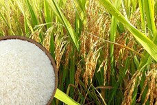 越南大米对国内消费和出口确保安全