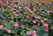 承天顺化省努力保护荷花种子 推动荷花种植业可持续发展