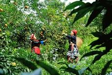 本地橘种植带动光顺村民增收致富