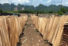 2021年上半年越南桉木单板对中国出口大幅增长