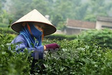 越南茶叶对台湾出口保持增长势头