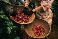 越南--世界咖啡生产第二大国