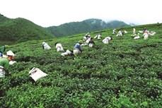 Đại Từ mở rộng diện tích trồng chè theo tiêu chuẩn VietGAP