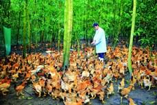 Thừa Thiên - Huế phát triển chăn nuôi gia cầm theo hướng an toàn sinh học