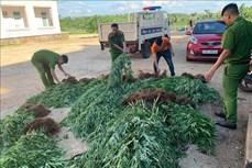 Đắk Lắk tiếp tục điều tra, xử lý vụ trồng cần sa trong rẫy cà phê