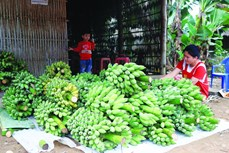 Trồng chuối tây cho hiệu quả kinh tế cao