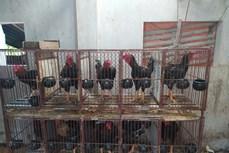 Hợp tác Việt-Bỉ bảo tồn giống gà bản địa