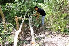 Gia Lai: Báo động tình trạng khai thác bằng lăng ở khu vực đèo Mang Yang