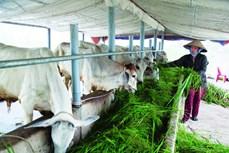 Hiệu quả kinh tế mô hình nuôi bò thịt