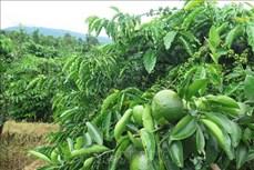 Tiềm năng phát triển cây ăn quả ở Kon Tum