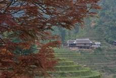 Mạy Coong, cây nông vụ của người Tày Bắc Hà