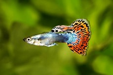 Ô nhiễm tiếng ồn tác động tiêu cực tới khả năng sinh tồn của cá
