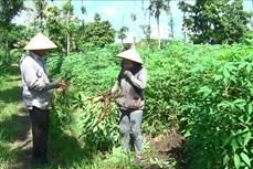 Cảnh báo bệnh khảm lá sắn lan rộng ở Đồng Nai