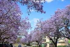 Australia: Rực rỡ mùa hoa phượng tím tại thị trấn Grafton, bang News South Wales