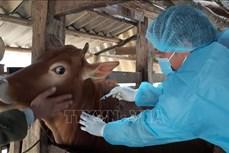 Tập trung ngăn chặn bệnh viêm da nổi cục trên trâu, bò