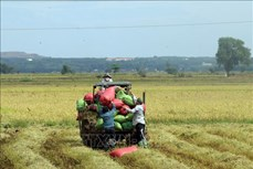 Bà Rịa-Vũng Tàu: Nông dân trúng vụ Mùa, giá tăng cao