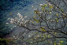 Điện Biên: Ngắm hoa ban bung nở trên núi rừng Tây Bắc