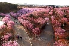 Chiêm ngưỡng hoa anh đào nở rộ tại Trung Quốc