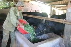 Bà Rịa-Vũng Tàu: Triển vọng từ nuôi bò 3B