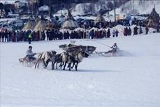 Đua hươu kéo xe trượt tuyết - môn thể thao độc đáo ở phương Bắc của nước Nga