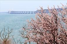 Nga: Du khách đổ về miền Nam ngắm hoa trong điều kiện hạn chế vì COVID-19