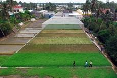 Xã Vĩnh Thanh làm giàu nhờ trồng rau cần nước