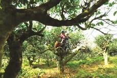OCOP – Động lực phát triển kinh tế nông thôn Yên Bái