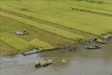 Ninh Bình: Đặc sắc mùa gặt ở Tam Cốc