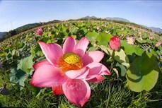 Đà Nẵng: Hoa Sen tưng bừng khoe sắc, tỏa ngát hương thơm