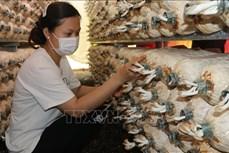 Trồng nấm mang lại thu nhập ổn định cho nông dân vùng sâu Phú Riềng