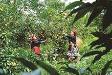 Quang Thuận giảm nghèo nhờ trồng quýt bản địa