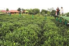 Tân Cương phát triển du lịch cộng đồng gắn với không gian văn hóa trà