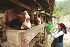 Chăm sóc trâu bò trong mùa nắng nóng