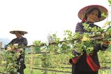 Nét mới của nông nghiệp Quản Bạ