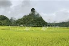 Lào Cai: Quyến rũ mùa vàng trên cánh đồng Mường Khương