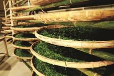 Hiệu quả từ trồng dâu nuôi tằm ở Trấn Yên